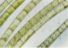 Spirogyra cells