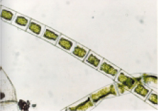 Spirogyra cells after 7 days