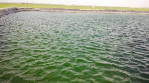 Irrigation lagoon in Oman with an algal problem